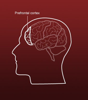 """the role of the prefrontal cortex The higher cognitive functions, working memory, mental imagery and willed action, are all intimately associated with consciousness the common process underlying all these functions is that information is """"held in mind"""" for a period of time."""
